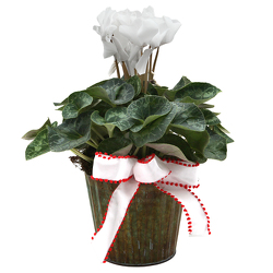 Cyclamen with Bow from Valley Forge Flowers in Wayne, PA