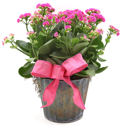 Kalanchoe in Faux Copper Pot from Valley Forge Flowers in Wayne, PA