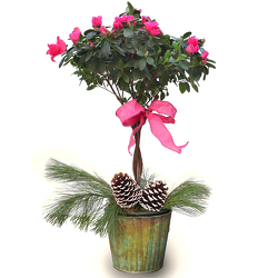 Azalea Topiary in Faux Copper Pot from Valley Forge Flowers in Wayne, PA