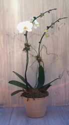 Double Stem Phal Orchid from Valley Forge Flowers in Wayne, PA